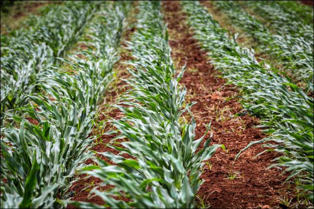 Mycogen corn fields on Molokai on July 2, 2014