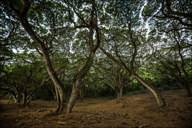 Trees at Kawainui Marsh in Kailua