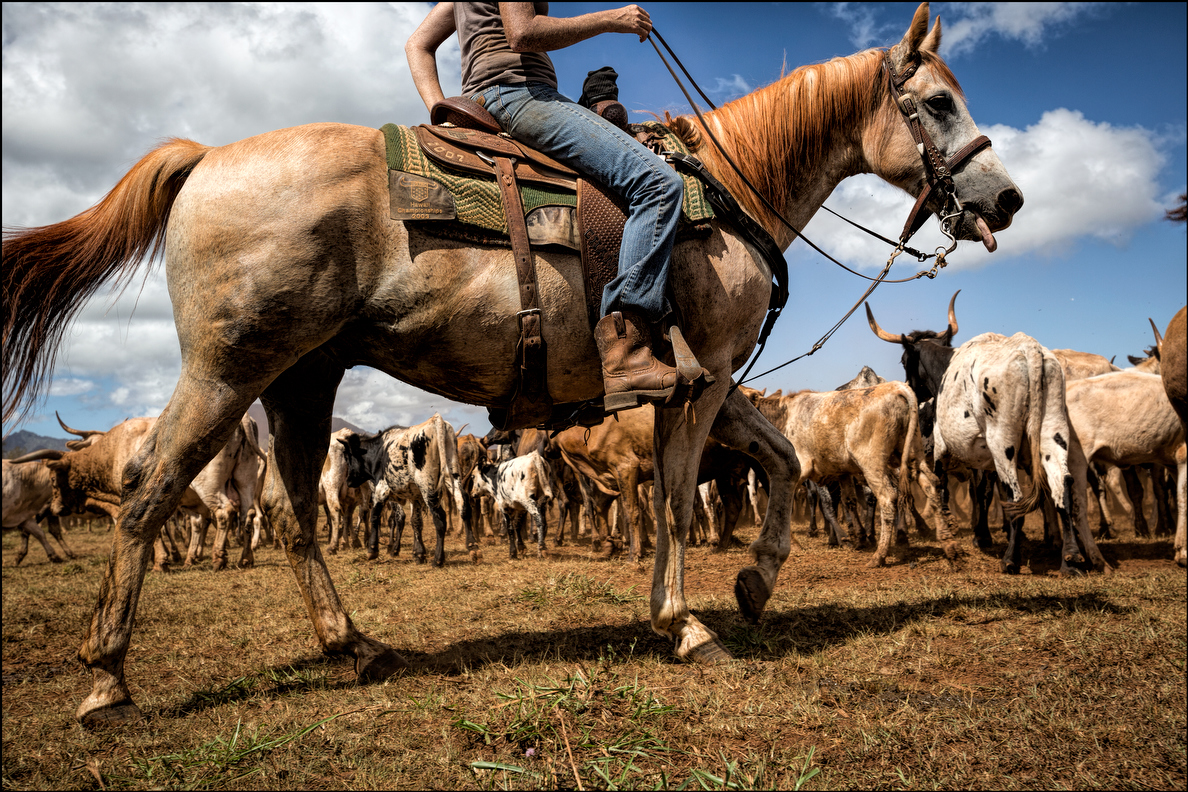 A good working horse is essential to cattle round-ups. The horse is the paniolo's main tool for herding the animals.