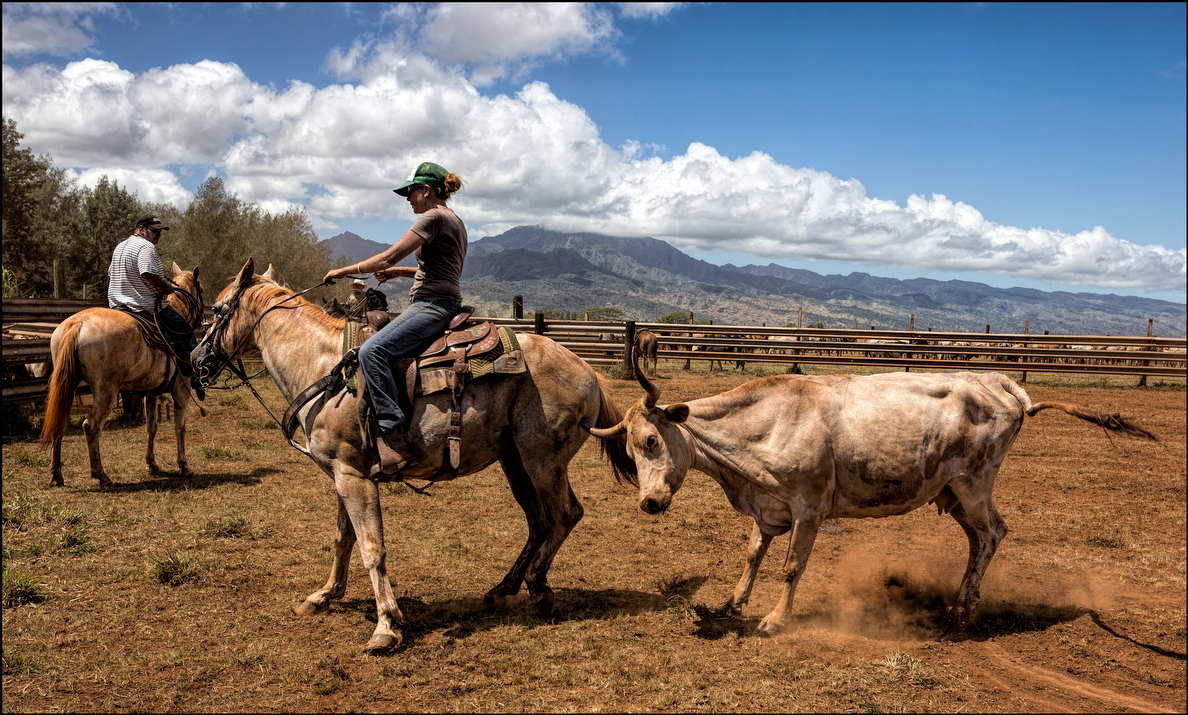 A heifer resists being herded into a pen. The horse got the point but its thick skin escaped unscathed.