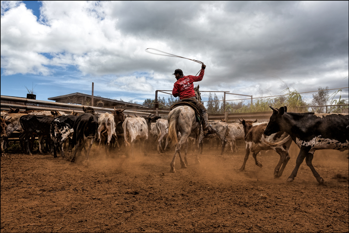 Paniolos may rope up to 200 bull calves in a day for castration.  It's hard and very dirty work.