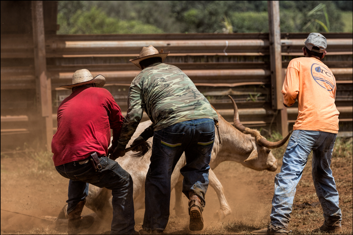 A 500-pound calf is not the easiest critter to throw down on the ground.