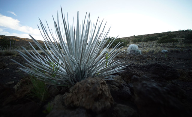Silverswords near the Mauna Kea visitors center. 10 april 2015. photograph Cory Lum/Civil Beat