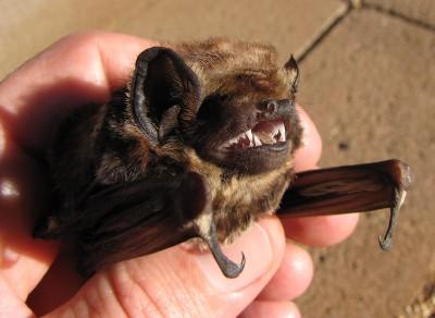 Are Hawaii's Wind Farms Killing Too Many Hoary Bats?