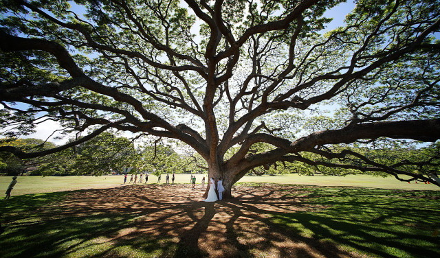 Wedding couple embraces a large tree at Moanalua Gardens. This large tree is featured in an iconic advertisement for many decades and many Japanese visitors make homage to the park to visit and photograph the tree. 16 june 2015. photograph Cory Lum/Civil Beat