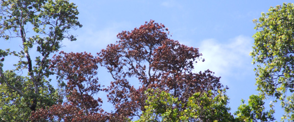 Symptoms of Ceratocystis wilt of ohia include rapid browning of affected tree crowns.