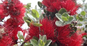 Ohia Disease on Big Island PosesThreat to Native Forests Statewide