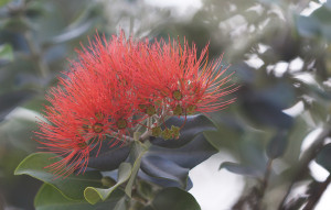 Peter Apo: Rapid Ohia Death Matters More Than You Think
