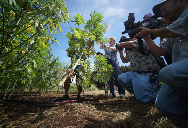 Right, Representative Cynthia Thielen assists UH staff in the first harvest of Hawaii's Industrial Hemp Field at the University of Hawaii, Waimanalo Research Station. 23 july 2015 photograph Cory Lum/Civil Beat