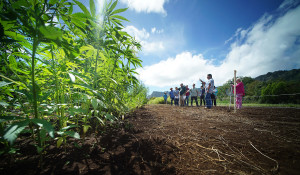 Hawaii's Highway To Hemp Paved With Potholes