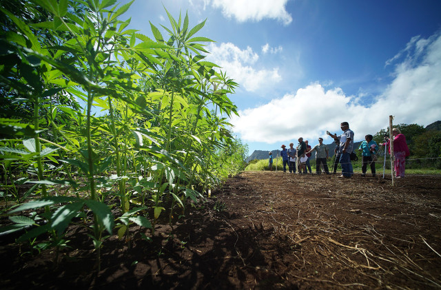 Dr. Harry Ako and his staff conduct a press conference with legislators and media near Industrial Hemp Field at the University of Hawaii, Waimanalo Research Station, 41-698 Ahiki Street. 23 july 2015. photograph Cory Lum/Civil Beat