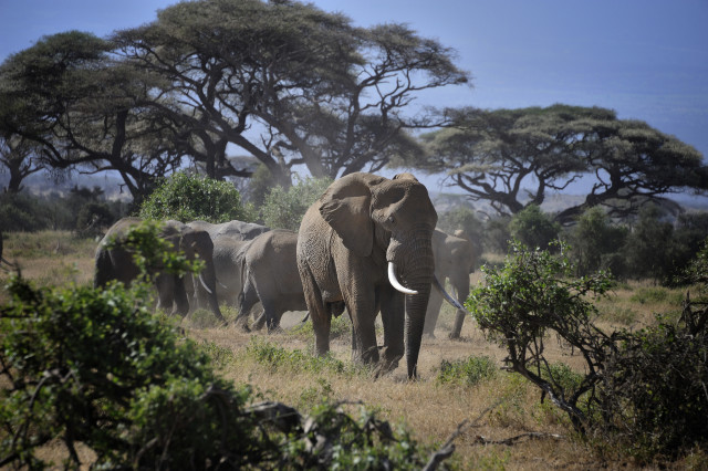 Every day, 96 elephants are killed for their ivory, according to the Wildlife Conservation Society.