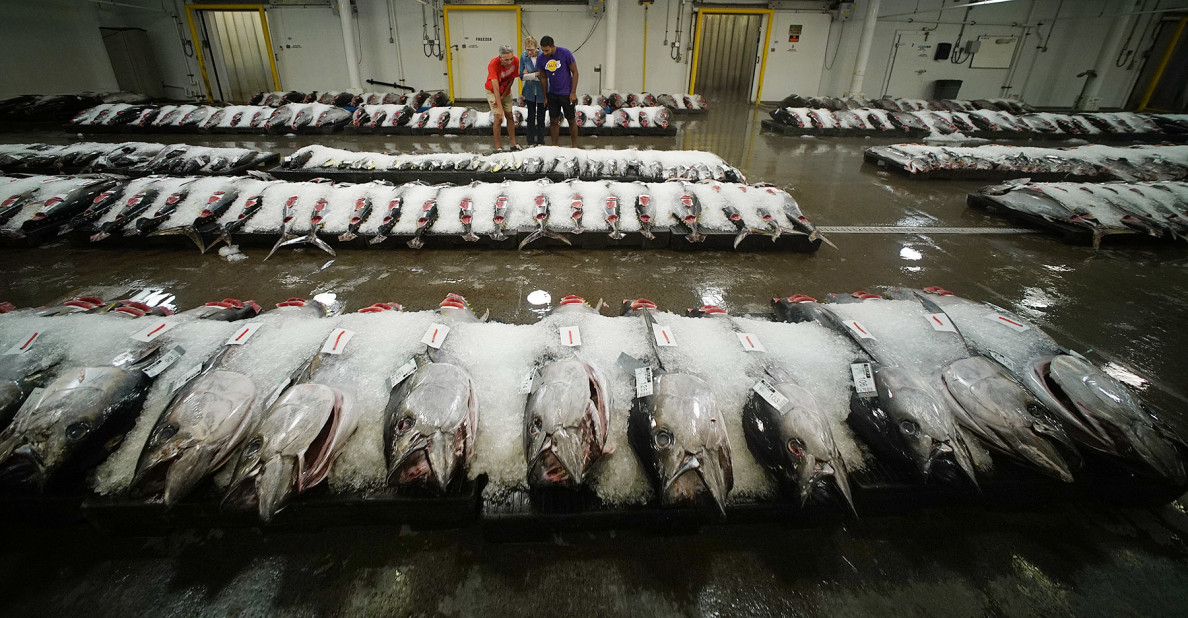 Honolulu Fish Auction Tuna wide1. 14 dec 2015. photograph Cory Lum/Civil Beat