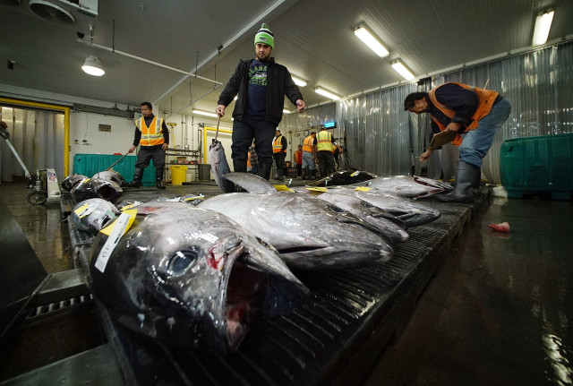 Workers move fish onto plastic pallets then iced and placed onto floor for auction start. 16 dec 2015. photograph Cory Lum/Civil Beat