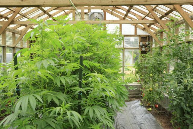 Marijuana grows in a greenhouse in Washington state.