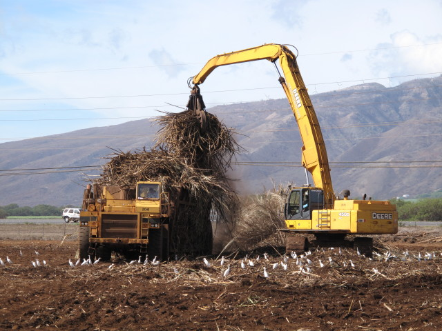 Hawaiian Commercial & Sugar Company harvests sugar cane on Maui.