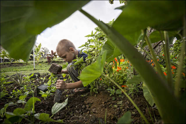 A student plants dry land taro at Na Wai Ola Public Charter School, located in Mountain View, HI.