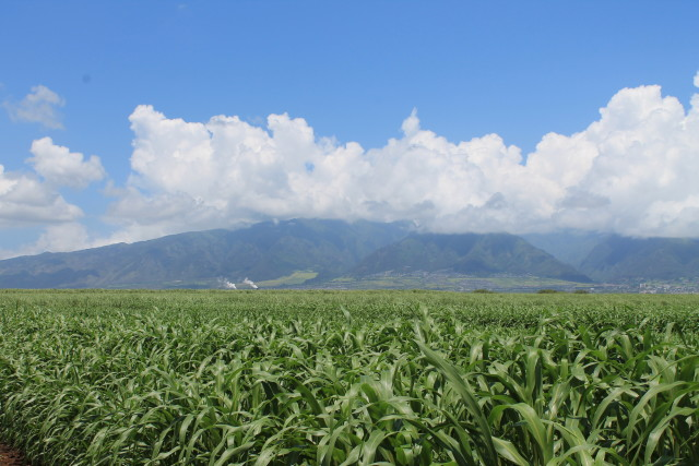 HC&S is growing sorghum, a type of cereal crop that can produce biogas.