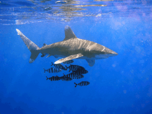 Feds Want To Hear From You About Whitetip Sharks