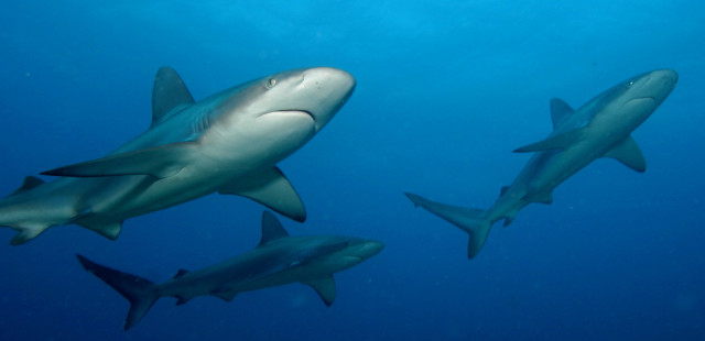 Sharks and other large fish are common on most reefs throughout the Northwestern Hawaiian Islands, one of the few marine ecosystems remaining on the planet still dominated by apex predators.
