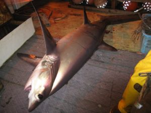 Study: Tuna Fishers Could Save Sharks