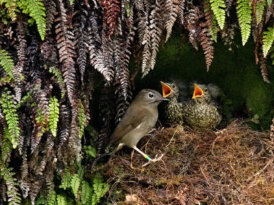 Can GMO Mosquitoes Save Kauai's Endangered Birds?
