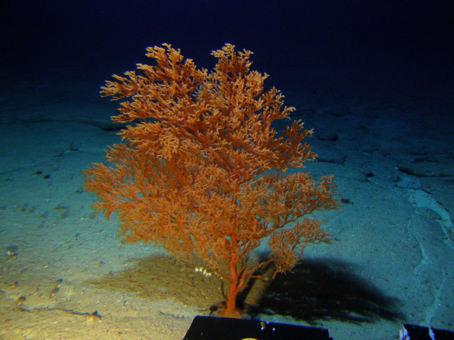 Black coral, the longest known living marine organism at upwards of 4,500 years, is found in the proposed expansion area around Papahanaumokuakea Marine National Monument.