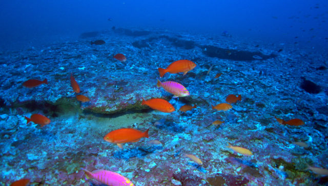 A school of Elegant Anthias (Caprodon unicolor), one of the most common fishes at 320 feet, Kure Atoll. These are Hawaiian endemic fishes (not known from anywhere else on Earth except Hawaii). Deep reefs at Kure Atoll were discovered to have the highest levels of endemism known from any marine ecosystem on Earth.