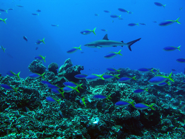 A gray reef shark swims among a colorful school of yellow and blueback fusiliers in the Pacific Remote Islands Marine National Monument.