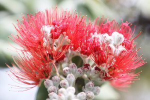 Bret Yager: Scientists Say There's Hope For Dying Ohia Trees