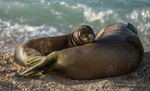 A Monk Seal Needs Help