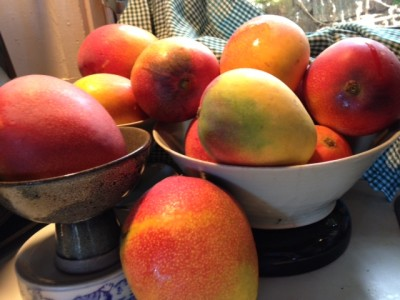 Denby Fawcett: Our Backyard Mango Trees Are Vanishing