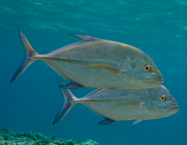 Bluefin trevally are one of 7,000 species within Papahanaumokuakea Marine National Monument.