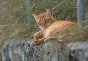 Honolulu May Pay To Fix Feral Cats