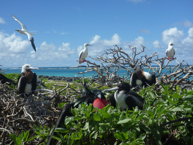 Great frigatebirds and red-footed boobies are two of the many species found at Papahanaumokuakea Marine National Monument.