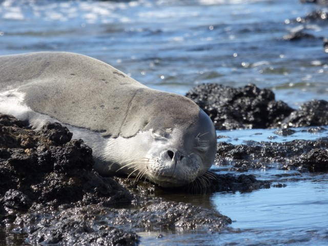 RN36, commonly known as Uilani, rests on the shoreline. The endangered Hawaiian monk seal died of toxoplasmosis in 2015.