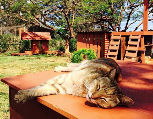 Courtesy of Lanai Cat Sanctuary