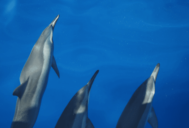 NOAA is proposing a ban on swimming with or even getting too close in a boat to Hawaiian spinner dolphins in certain waters.