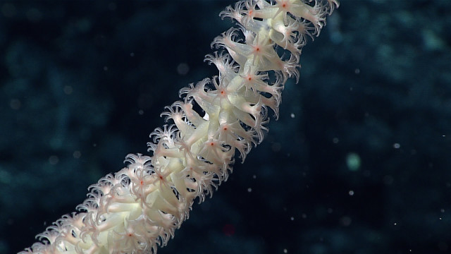 A close up shot of the polyps of a bamboo coral on an unnamed seamount just outside Papahanaumokuakea Marine National Monument.