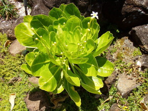 IUCN: Extinction Threatens 87 Percent Of Hawaii's Native Plants