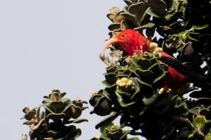 Hawaii's Honeycreeper May Get Federal Protection