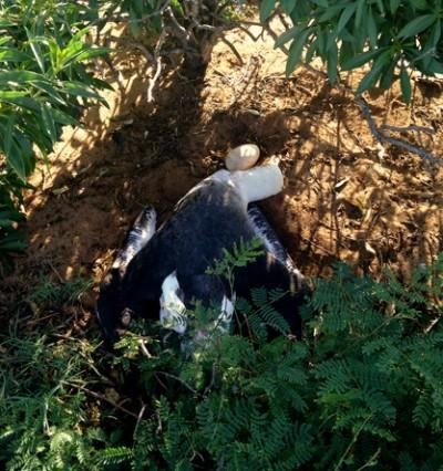 Dead albatross beside its egg -DLNR