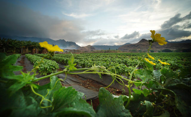 Waianae farming/crops along Waianae Valley Road. 19 nov 2016