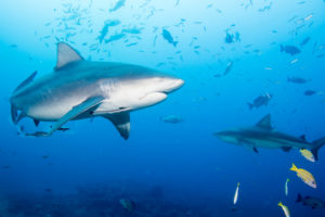 Fiji Is Showing Off Its Sharks — Should Hawaii Do The Same?