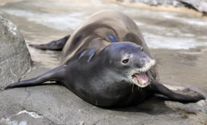 Scientists See 'Glimmer Of Hope' For Hawaiian Monk Seals