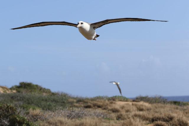 Laysan Albatross flies near Kaena Point1. 7 feb 2017
