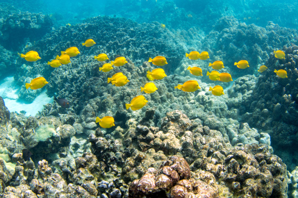 DLNR Urges Ige To Veto Bill Phasing Out Aquarium Fishing In Hawaii