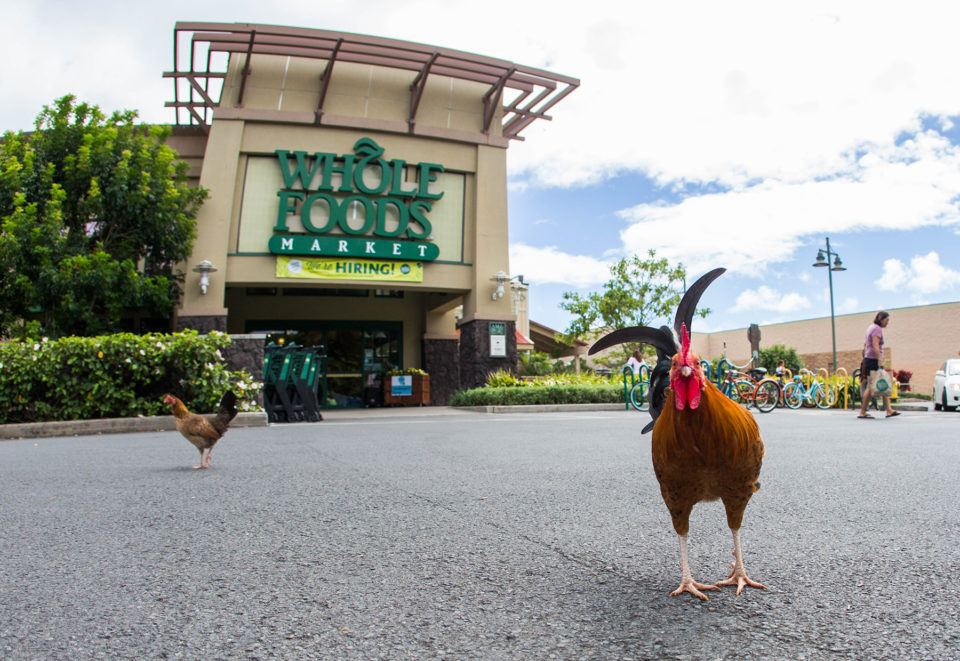The Wild Chickens Flocking To Whole Foods in Kailua