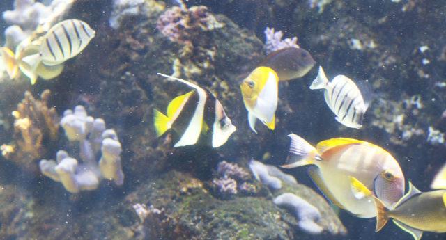 Angelfish Waikiki Aquarium. Fish