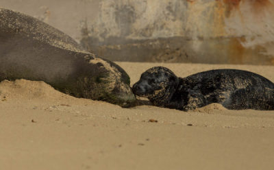 In Birth Of Monk Seal, A Larger Signal Of Success
